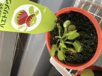 食虫植物のハエトリソウについて。  水苔で巻いて鉢底石を1センチほど詰めて 腰水をしてます。 水はほぼ毎日継ぎ足して 日陰に置いてます。 成長はしてますが、購入時に他のハエトリソウ は上に伸びてました。 私のは上に伸びません。 枯れない時もありますが 最近になってまた枯れてきました。 水苔とハエトリソウの距離が近いのでしょうか? また、この育て方で間違ってる部分 直し...