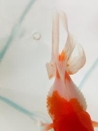 アクアリウムで金魚が松かさ病になってしまいました  治療方法を教えてください