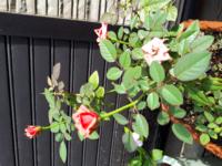 バラの名前 その1 約20年前に鉢植えにしたバラです ほとんど手もかけてないのに今年も咲いてくれました  名前わかる方、教えてください