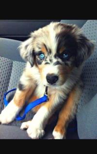 この犬を飼いたいのですが、この犬はのシベリアンハスキーとラブラドールレトリバーのミックスだと聞いたのですが、怪しかったのでこの犬はなんていう犬種ですかまた飼い方方がわかる方は教えてください