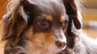チワワとミニチュアダックスフンドのミックスのチワックスが飼いたいです、飼い方を教えてください! 下記の写真のようなチワックスを飼いたいです。