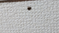【閲覧注意】部屋の中に蜘蛛がいます!この蜘蛛の種類は何でしょうか?害はありますか? 蜘蛛はあまり殺さない方がいいとは聞くものの、視野をチョロチョロ動いて気になります…(泣)