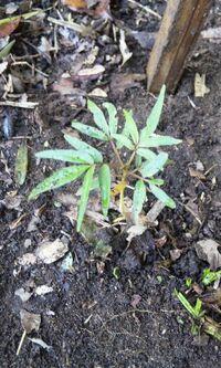 カラスザンショウの幼木  ネットで調べましたら、カラスザンショウは幼木の時からすでにトゲがあるようです。  林で撮影したカラスザンショウは、まだ、トゲがありません。 幼木でも、本当に小さい時にはトゲ...
