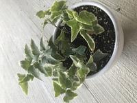 アイビーを購入し一回り大きな鉢に 植え替えて1ヶ月ぐらい育ててますが 中の下の方の葉がポロポロと 何枚か取れたりして そんなに育ってる気がしません。 日本では無くだだ今 毎日気温は3 4度越えの環境で...