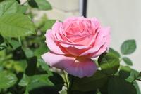 バラの名前がわからなくなってしまいました。 タグがなくなってしまい、バラの名前がわかりません。 クイーン・オブ・スウェーデンかクロード・モネです。 スウェーデンにしては色が濃く、モ ネにしては絞りが...