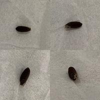 スチールラックの下をクイックルワイパーしたらこんなものがついてきました! 虫のたまごでしょうか? 先端に小さな穴があります。 それとも植物の種子でしょうか? 長さは1センチくらいで す。