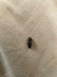 体長1センチ弱位のこの虫を最近家の中で見かける様になりました。 色は黒っぽいですが光沢は無いです。 何という虫か、ご存知の方いらっしゃいますか? また発生源は何だと予測されますか? ご回答よろしくお願いします。