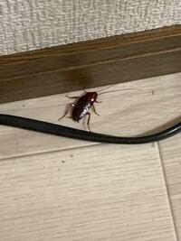 このゴキブリの種類は何ゴキブリでしょうか