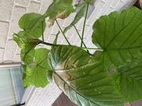 ウンベラータの葉っぱが、写真の様に枯れて(色抜け?)しまいます。 葉先からではなく、葉の付け根からです。 原因が分かりません。 置いてる場所は、インナーバルコニーの角で、風通しは悪く 無いと思います。...