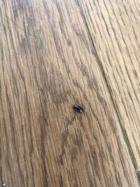 ゴキブリの子どもでしょうか? 写真のような体長2ミリくらいのこげ茶色の虫を、キッチン近くのフローリングで見つけました ゴキブリの子どもの写真を調べてみてもぴんとくるものがなかったため質問させていただきました しかし見た目はゴキブリを小さく小さくしか感じに見えるので、ゴキブリの子どもですかね……