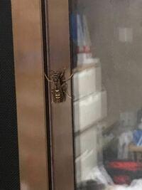 家の中にこいつが8匹くらいいるのですが、こいつは蜂ですか?