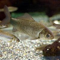 ギンフナの生殖について質問です。  「ギンブナ」とは、コイ目コイ科コイ亜科の淡水魚で、日本、台湾、朝鮮半島、中国に分布する魚である。 主に池沼や河川の下流など、比較的流れの緩やかな場所に生息している...