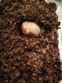 カブトムシの幼虫が一頭だけマットの上に出てきていました。1つの飼育ケースに8頭飼っていたので、マットの状態は乾燥気味であったのと、その上に酸欠状態かと思い個別飼育に変更しました。 個別にしてマットも新しいのを混ぜて替えました。しかし、この幼虫だけ一旦は潜るもののまた出てきます。マットの上で今日で3日目になります。写真のように半分埋まったまま動きません。ツンツンするとピクッと動きますが、それ以...