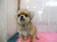 愛犬家の方に質問です。  好きな犬種はどれですか、ちなみに俺はチワワや柴犬など。