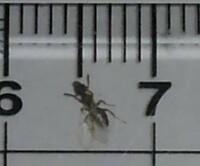 羽アリでしょうか?  先ほど部屋で画像の羽のある虫を8匹ほど見たのですが、何の虫でしょうか?