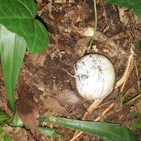 昨日雑木林で見つけました。 キノコの類だと思いますが 茎やいしづきはなく 細いひげのようなものが地から繋がって いるだけです。 丸くてボール状。大きさは直径10cm弱。 ネットで検索しても同様のキノ...