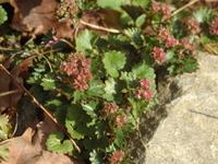 この植物の名前を教えて下さい。  春に低山で見かけた植物です。 赤っぽい花(実?)がついています。匍匐性? ガイドさんに名前を伺ったのにメモするのを忘れてしまいました。 名前をご存知の方、お願い致します。