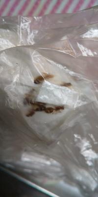 蟻だと思うのですが、大きいし、赤茶色のようだし… 危険な蟻なのかもわからずです。 蟻の種類などわかる方いましたらよろしくお願いします。