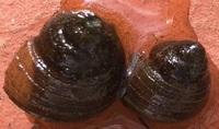 これは何タニシですか?  用水路で捕まえたタニシが世代交代を繰り返しています。 画像は今年生まれた子供のタニシです。 よろしくお願いします。