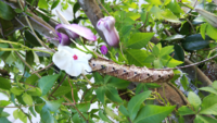 なんの幼虫ですか? 宿根朝顔についてます。  ビンカの花を大きさの比較に並べてます。  宿根朝顔は食べられてもいいのですが 駆除した方がいいですか?