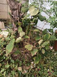 アナベルの花なんですが 土の再生材入れて1週間経ちますが もうダメになってしまったのでしょうか‥ どうしたら生き返りますか? 宜しくお願いします
