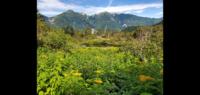 この北岳の白根御池に咲いてた黄色い花は何だか分かりますか?
