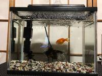 金魚について 今日黒デメキン二匹 らんちゅう一匹を飼ったのですが酸素不足?なのか頻繁に水面に上がる様子を見ます。このエアレーションでは金魚三匹には物足りないのでしょうか? 水槽は約10リットル程度です