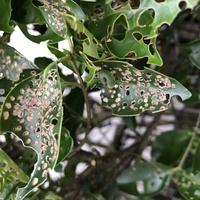 家の生垣の葉っぱが写真のように穴だらけになり、写真のような小さいアオムシがたくさんいます。 この木はなんという木で、なんの幼虫に食べられているか教えてください。 だいぶ手遅れだと思 いますが、ベニカS乳剤を散布したら次の春には回復するでしょうか?