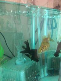 金魚の種類判別と出目金へのイジメ 子供がお祭りで金魚を3匹とってきました。 和金、黒出目金…と謎の金魚です。 この謎金の種類はなんでしょう?色は金と銀の間で素早く泳ぎます。 さらにこの謎金が出目金を毎日...