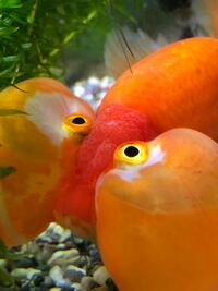 金魚の水泡眼についての質問です。 今朝、金魚の様子を見に来たら、今まで無かった目の部分に黒い色のでき物ができていました。皮が少し伸びてるような気がします  これは、何かの病気なのでしょうか。?また、水槽の水が悪いなど何が原因等があるのでしょうか。 心配です。どなたか知ってる方いらっしゃったら教えて下さると助かります。