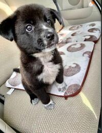 保護犬です。何犬のミックスかわかりませんか?予想で構いせん! 生後1ヶ月半過ぎです。  中型犬か大型犬かも知りたいです。