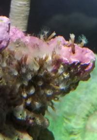 海水水槽のライブロックについています。 この生物は何でしょうか? また駆除が必要でしょうか? 知っている方よろしくお願いします。