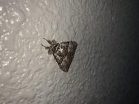 この虫10時間くらい同じ場所にひっついているのですがなんでかわかる方いますか?そもそもなんて種類の虫(多分蛾?)ですか?