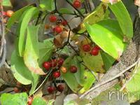 【赤い実】 この実なんの実?  この赤い実のつく植物は何でしょうか? 蔓性の植物です。大きな木に絡まりつくように伸びています。 朱色~赤の実が幾つも付いています。 実のサイズはパチンコ玉くらいです。...