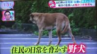 野犬にエサをやらないと人が襲われるでしょうか? 京都や山口県で大型の野犬がうろついているそうですが、エサやりをしている人いわく上記の理由らしいです。(かわいいからが主だと思いますが) 極めつけですが、飢えた大型犬となると、人間を獲物認定して集団で襲うことはありますか? 彼らは今までエサもらってた恩とか思慮しますかね?