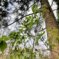 寄生植物や半寄生植物の種を採取して撒いても条件が整わないと生育出来ませんか?   画像は半寄生植物の「ツクバネ」です。