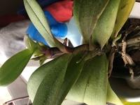 詳細な種類はわかりませんが茶の間で育てている蘭の新芽や花芽がこれまでと違う出方をしています。  具体的には新芽が1番上の同じ箇所から4.5枚、花芽らしきものが途中から3本ほど出てきてい ます。 我が家には他にも蘭が数種類あるのですが、このような育ち方をしているものは初めて見ました。  これはこのまま自然に任せていて良いものでしょうか?