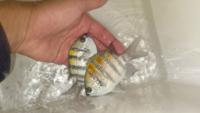 この魚の種類を教えてください ネットで調べても「スズメダイ」としか出てきません