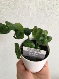 ダイソー植物 名前 写真あり この植物の名前を教えてください。 お願いします。