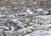 奥多摩に行った時に、近寄ってきた鳥がいました。 この鳥の名前を知りたいです。宜しくお願い致します。
