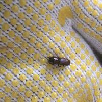 昆虫に詳しい方教えてください。 これはチビクワガタですか?
