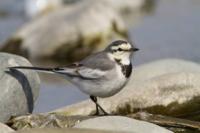 ハクセキレイという鳥について、教えて下さい。 長年愛知県に住んでいて、今はスズメと同じくらいこの鳥を見かけますが、この鳥をよく見かけるようになったのは2010年以降の気がします。 ウィキペディアを見たら、20世紀前半に北海道、東北だけだった棲息地が本州へとひろがっていったとありましたが、そんなに前でしょうか? こんなどんくさくて可愛い鳥、昔は見なかった気がします。