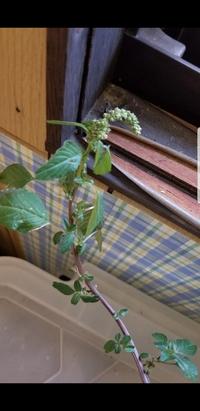 パッションフルーツを冬越しさせる為に室内に入れました。 室内に入れてからパッションフルーツの横から謎の芽が出てきました。 雑草だったら抜こうと思っていますが、花か何かだったら残そう と思ってます。 鉢には以前に何が植わっていたのか分かりません。 謎の芽の種類について知恵をおかしください