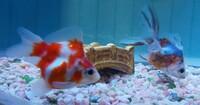 金魚の種類と餌について教えてください。 この二匹は何という種類の金魚ですか? 沈下する餌(食べ残しがありそう)と浮く餌(ピンポンパールみたいに丸いので転覆病が心配)どちらが良いでしょう か? よろしくお...