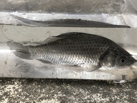 この魚は何という種類でしょうか?山に沿ってある用水路にいました。