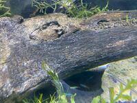 熱帯魚 流木 水草 ネオンテトラ グッピー アクアリウム、流木に今日みたら 白いものが湧いてます。 白カビではなさそうなんですが、 分かる方いましたら教えてください!! 画像のせときます。