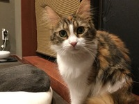 浅草の猫カフェで出会いました。なんという猫種ですか?