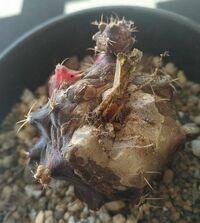 緋牡丹の接ぎ木が枯れて根元から取れました。  緋牡丹じたいはまだ元気なのですが、 このまま土に戻してもよいのでしょうか?