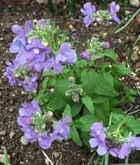 宿根草という事ですが名前が分かりません。 画像の花の名前を教えてください。