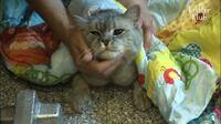 この猫ちゃんの種類何かわかる方いらっしゃいますか…‼︎雑種ではないと思うのですが… こちらの動画から引用の画像です。お願いします。 ↓ https://youtu.be/rk6swRa6fDE